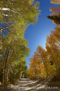 A tunnel of aspen trees, on a road alongside North Lake.  The aspens on the left are still green, while those on the right are changing to their fall colors of yellow and orange.  Why the difference?. Bishop Creek Canyon, Sierra Nevada Mountains, Bishop, California, USA, Populus tremuloides, natural history stock photograph, photo id 23342