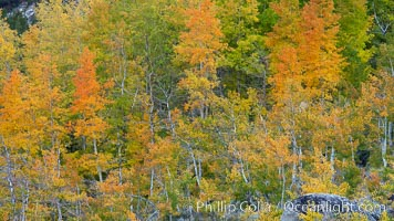 Aspen trees, create a collage of autumn colors on the sides of Rock Creek Canyon, fall colors of yellow, orange, green and red. Rock Creek Canyon, Sierra Nevada Mountains, California, USA, Populus tremuloides, natural history stock photograph, photo id 23354