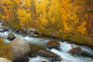 Image 23362, Aspens turn yellow in autumn, changing color alongside the south fork of Bishop Creek at sunset. Bishop Creek Canyon, Sierra Nevada Mountains, Bishop, California, USA, Populus tremuloides, Phillip Colla, all rights reserved worldwide. Keywords: aspen, aspen tree, autumn, bishop, bishop creek canyon, bishop creek canyon sierra nevada mountains, california, creek, downstream, eastern sierra, eastern sierra fall colors, environment, fall, fall color, fall colors, flow, foliage, forest, grove, high sierra, landscape, mountain, nature, outdoors, outside, plant, populus tremuloides, quaking aspen, rapids, river, scene, scenery, scenic, sierra, sierra nevada, south fork, stream, terrestrial plant, tree, usa, water.