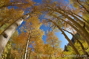 A grove of aspen trees, looking up to the sky along the towering white trunks to the yellow and green leaves, changing color in autumn, Populus tremuloides, Bishop Creek Canyon, Sierra Nevada Mountains