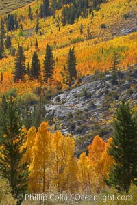 Yellow aspen trees in fall, line the sides of Bishop Creek Canyon, mixed with  green pine trees, eastern sierra fall colors, Populus tremuloides, Bishop Creek Canyon, Sierra Nevada Mountains