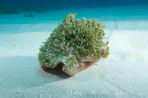 Queen conch shell covered with algae growth.  Conch is a large common univalve mollusk (snail), animal is crawling across sand, Strombus gigas