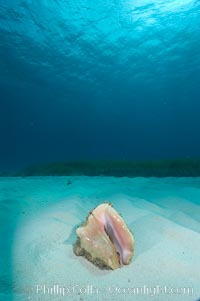 Queen conch, a large common univalve mollusk (snail), animal is retracted into shell, Strombus gigas