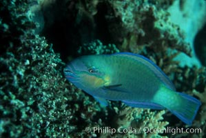 Female queen parrotfish feeds on coral reef with teeth and jaws suited to pulverize hard coral, excreting the remains as sand, Scarus vetula, Roatan