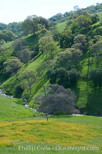 Oak trees and grass cover the countryside in green, spring, Sierra Nevada foothills, Quercus, Mariposa, California