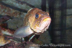 Quillback rockfish, Sebastes maliger