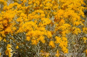 Rabbitbrush. White Mountains, Inyo National Forest, California, USA, Chrysothamnus, natural history stock photograph, photo id 17605