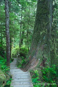 Rainforest Trail in Pacific Rim NP, one of the best places along the Pacific Coast to experience an old-growth rain forest, complete with western hemlock, red cedar and amabilis fir trees. Moss gardens hang from tree crevices, forming a base for many ferns and conifer seedlings. Rainforest Trail, Pacific Rim National Park, British Columbia, Canada, natural history stock photograph, photo id 21055