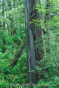 Rainforest Trail in Pacific Rim NP, one of the best places along the Pacific Coast to experience an old-growth rain forest, complete with western hemlock, red cedar and amabilis fir trees. Moss gardens hang from tree crevices, forming a base for many ferns and conifer seedlings. Rainforest Trail, Pacific Rim National Park, British Columbia, Canada, natural history stock photograph, photo id 21060