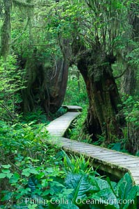 Rainforest Trail in Pacific Rim NP, one of the best places along the Pacific Coast to experience an old-growth rain forest, complete with western hemlock, red cedar and amabilis fir trees. Moss gardens hang from tree crevices, forming a base for many ferns and conifer seedlings, Pacific Rim National Park, British Columbia, Canada