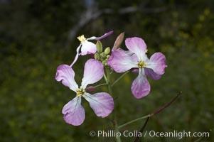 Wild radish blooms in spring, Batiquitos Lagoon, Carlsbad, Raphanus sativus