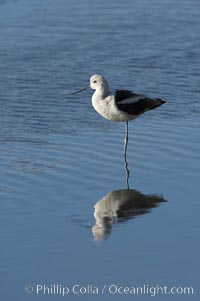 American avocet, male winter plumage, forages on mud flats, Recurvirostra americana, Upper Newport Bay Ecological Reserve, Newport Beach, California