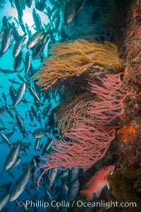 Red gorgonians and California golden gorgonians on rocky reef, below kelp forest, underwater. The red gorgonian is a filter-feeding temperate colonial species that lives on the rocky bottom at depths between 50 to 200 feet deep. Gorgonians are oriented at right angles to prevailing water currents to capture plankton drifting by, Chromis punctipinnis, Muricea californica, Lophogorgia chilensis, San Clemente Island
