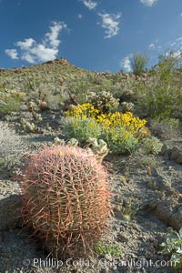 Barrel cactus, brittlebush and wildflowers color the sides of Glorietta Canyon.  Heavy winter rains led to a historic springtime bloom in 2005, carpeting the entire desert in vegetation and color for months, Ferocactus cylindraceus, Encelia farinosa, Anza-Borrego Desert State Park, Borrego Springs, California