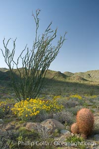 Barrel cactus, brittlebush, ocotillo and wildflowers color the sides of Glorietta Canyon.  Heavy winter rains led to a historic springtime bloom in 2005, carpeting the entire desert in vegetation and color for months, Ferocactus cylindraceus, Encelia farinosa, Fouquieria splendens, Anza-Borrego Desert State Park, Borrego Springs, California