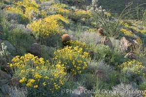 Barrel cactus, brittlebush and wildflowers color the sides of Glorietta Canyon.  Heavy winter rains led to a historic springtime bloom in 2005, carpeting the entire desert in vegetation and color for months, Ferocactus cylindraceus, Encelia farinosa, Anza-Borrego Desert State Park, Anza Borrego, California