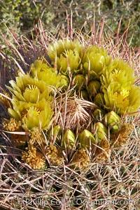 Red barrel cactus blooms in spring, Ferocactus cylindraceus, Anza-Borrego Desert State Park, Borrego Springs, California
