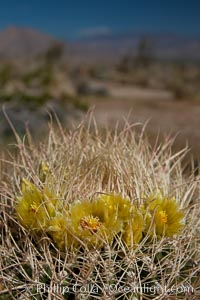 Cactus flowers bloom, on top of a barrel cactus, with the town of Borrego Springs in the distance, Ferocactus cylindraceus, Anza-Borrego Desert State Park, Anza Borrego, California