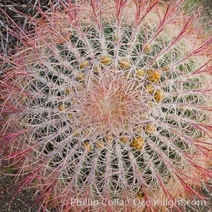 Red barrel cactus detail, spines on top of the cactus, Glorietta Canyon, Anza-Borrego Desert State Park, Ferocactus cylindraceus, Anza Borrego, California
