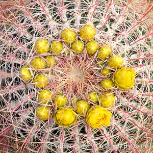 Red barrel flower bloom, cactus detail, spines and flower on top of the cactus, Glorietta Canyon, Anza-Borrego Desert State Park, Ferocactus cylindraceus, Borrego Springs, California
