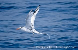 Red-billed tropic bird, taking flight over open ocean, Phaethon aethereus, San Diego, California