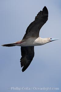 Red-footed booby in flight, Sula sula, Wolf Island