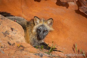 Cross fox.  The cross fox is a color variation of the red fox, Vulpes vulpes