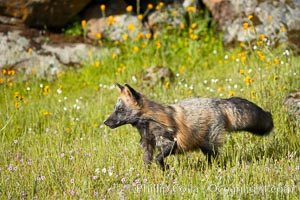 Cross fox, Sierra Nevada foothills, Mariposa, California.  The cross fox is a color variation of the red fox, Vulpes vulpes