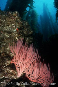 Gorgonian in kelp forest, Lophogorgia chilensis, San Clemente Island