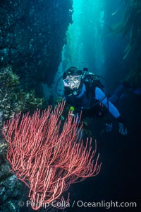 Diver and red gorgonian. San Clemente Island, California, USA, Lophogorgia chilensis, natural history stock photograph, photo id 01485