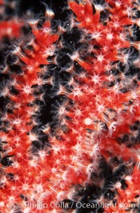 Red gorgonian polyps.  The red gorgonian is a colonial organism composed of thousands of tiny polyps.  Each polyp secretes calcium which accumulates to form the structure of the colony.  The fan-shaped gorgonian is oriented perpendicular to prevailing ocean currents to better enable to filter-feeding polyps to capture passing plankton and detritus passing by, Lophogorgia chilensis, San Clemente Island
