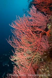 Red gorgonian on rocky reef, below kelp forest, underwater. The red gorgonian is a filter-feeding temperate colonial species that lives on the rocky bottom at depths between 50 to 200 feet deep. Gorgonians are oriented at right angles to prevailing water currents to capture plankton drifting by, Lophogorgia chilensis, San Clemente Island