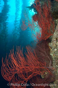 Red gorgonian on rocky reef, below kelp forest, underwater.  The red gorgonian is a filter-feeding temperate colonial species that lives on the rocky bottom at depths between 50 to 200 feet deep. Gorgonians are oriented at right angles to prevailing water currents to capture plankton drifting by. San Clemente Island, California, USA, Lophogorgia chilensis, Macrocystis pyrifera, natural history stock photograph, photo id 23487