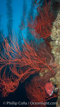 Red gorgonian on rocky reef, below kelp forest, underwater.  The red gorgonian is a filter-feeding temperate colonial species that lives on the rocky bottom at depths between 50 to 200 feet deep. Gorgonians are oriented at right angles to prevailing water currents to capture plankton drifting by. San Clemente Island, California, USA, Lophogorgia chilensis, natural history stock photograph, photo id 23506