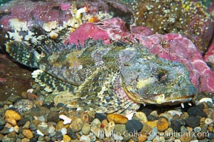 Red Irish Lord.  The red irish lord lurks in shallow habitats where it feeds on crabs, shrimp, barnacles, mussels and small fishes., Hemilepidotus hemilepidotus, natural history stock photograph, photo id 13689