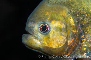 Red piranha, a fierce predatory freshwater fish native to South American rivers.  Its reputation for deadly attacks is legend, Pygocentrus nattereri