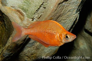 Red rainbowfish., Glossolepis incisus, natural history stock photograph, photo id 09285