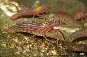 Red rock shrimp, Lysmata californica