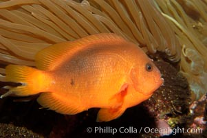 Red saddleback anemonefish, Amphiprion ephippium