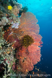 Plexauridae Sea Fan Gorgonians with Crinoid Attached, Fiji, Crinoidea, Gorgonacea, Plexauridae, Namena Marine Reserve, Namena Island