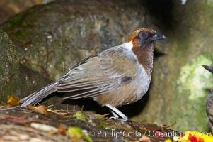 Red-tailed laughing thrush, native to Indochina, Garrulax milnei sharpei