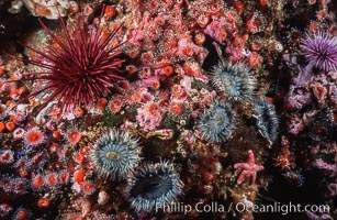 Red urchin, strawberry anemones and aggregating anemones on rocky California reef, Strogylocentrotus franciscanus, Anthopleura elegantissima, Corynactis californica
