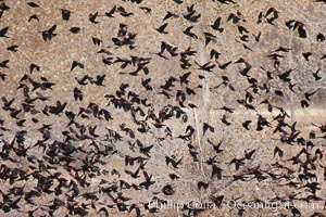 Red-winged blackbirds in flight, Agelaius phoeniceus, Bosque del Apache National Wildlife Refuge