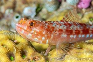 Reef lizardfish, Synodus variegatus, Fiji, Synodus variegatus