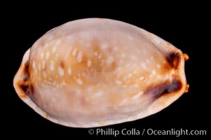 Reents&#39; Cowrie, Cypraea gangranosa reentsii