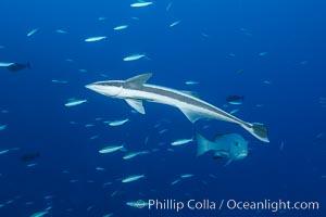 Remora, Slender Suckerfish, Echeneis naucrates, Fiji, Nigali Passage, Gau Island, Lomaiviti Archipelago