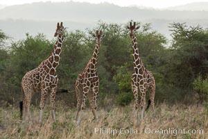 Reticulated giraffe, Meru National Park, Giraffa camelopardalis reticulata