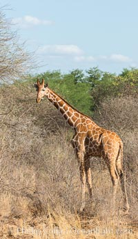 Reticulated giraffe, Meru National Park. Meru National Park, Kenya, Giraffa camelopardalis reticulata, natural history stock photograph, photo id 29753
