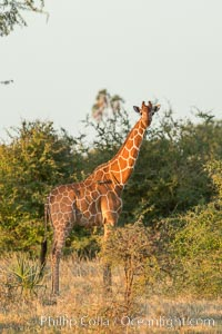 Reticulated giraffe, Meru National Park. Meru National Park, Kenya, Giraffa camelopardalis reticulata, natural history stock photograph, photo id 29757