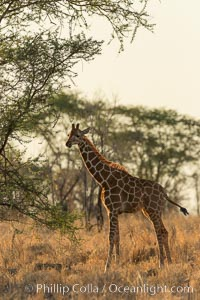 Reticulated giraffe, Meru National Park, Kenya, Giraffa camelopardalis reticulata